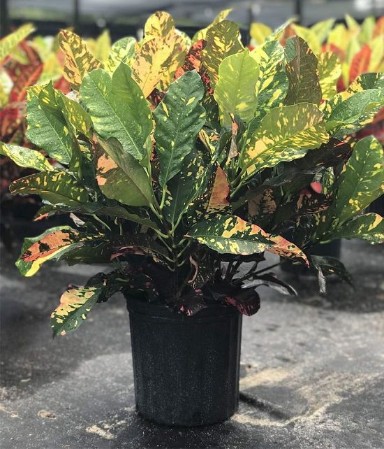 Types of Crotons 6