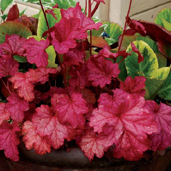 Best Heuchera Varieties 7