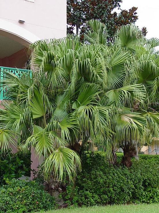 Best Palm Trees in Florida 10