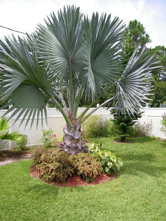 Best Palm Trees in Florida 11