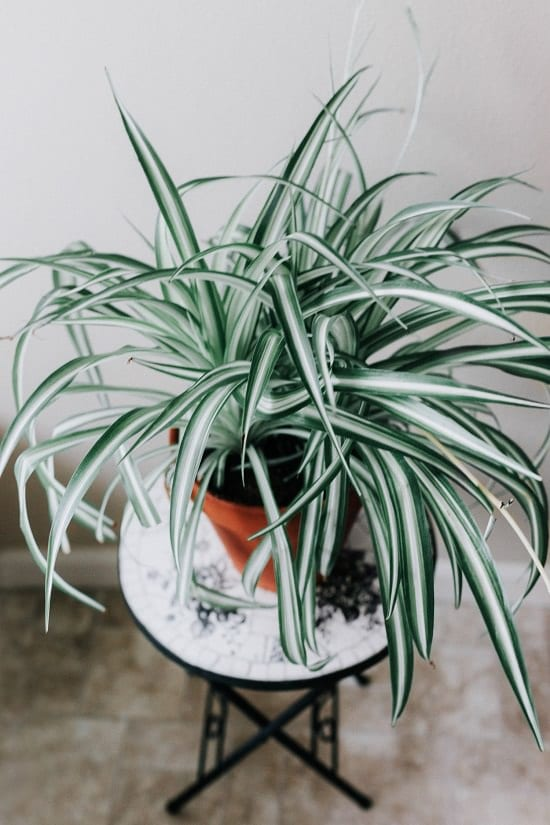 Types of Spider Plants 2