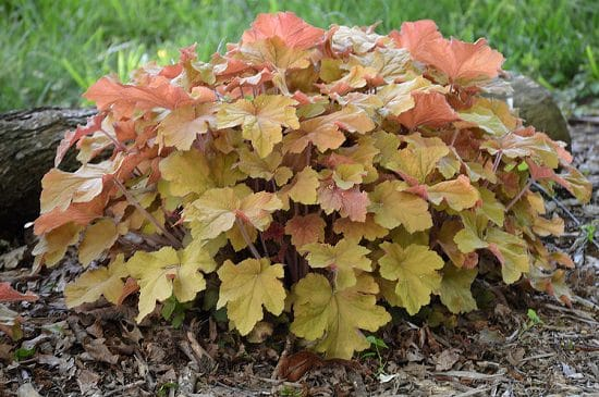 Best Heuchera Varieties 2