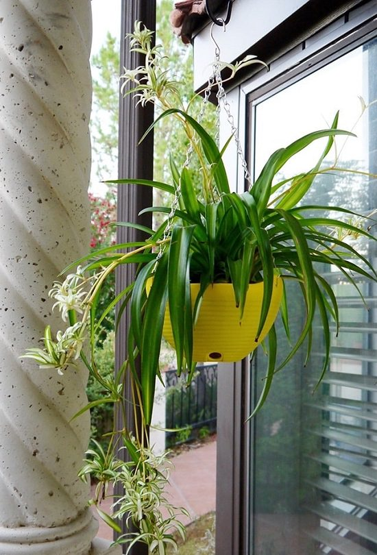 Types of Spider Plants 3