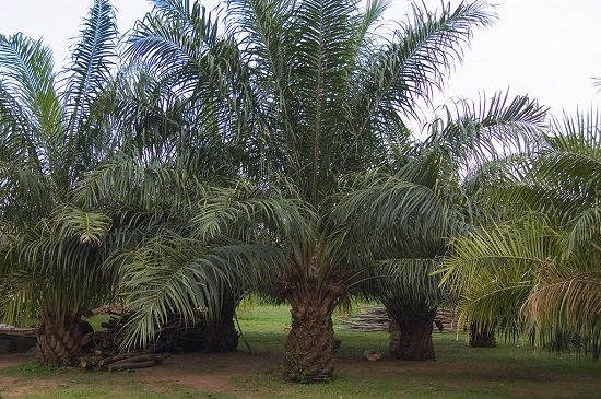 Best Palm Trees in Florida 3