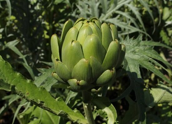 Types of Artichokes 4