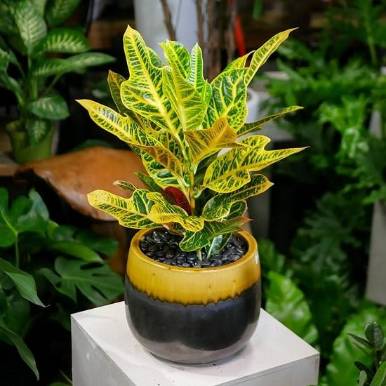 Types of Crotons 4