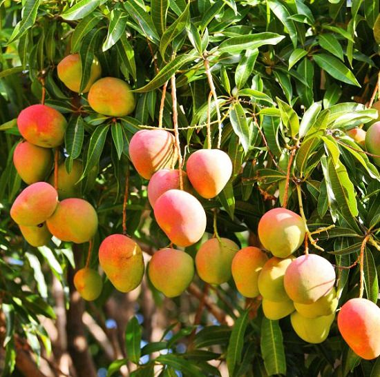 21 Different Types Of Mangoes Best Mango Variety In The