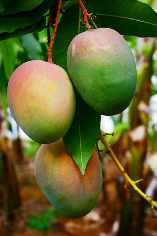Different Types of Mangoes 3