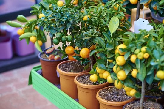 How to Grow an Orange Tree in Container 2