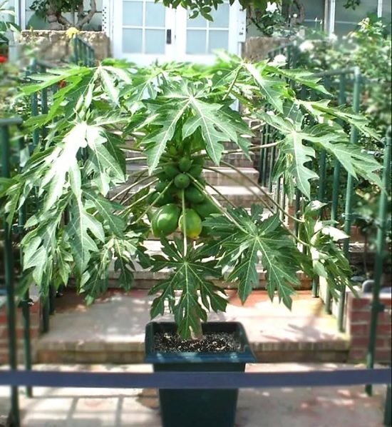 papaya tree in container