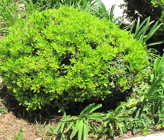 Best Pittosporum Varieties 6