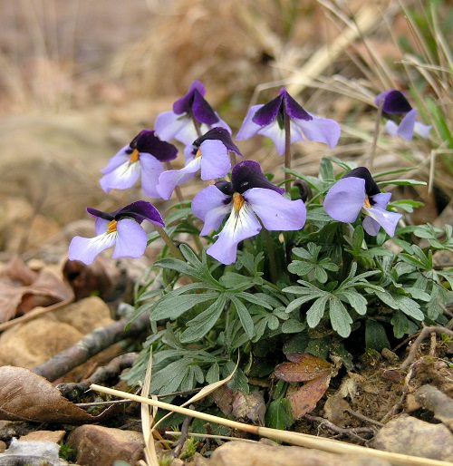 Types of Violet Flowers 7