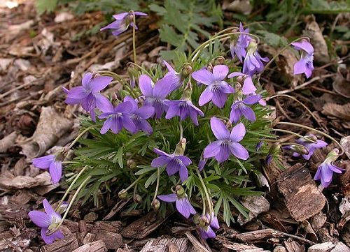 Types of Violet Flowers 8