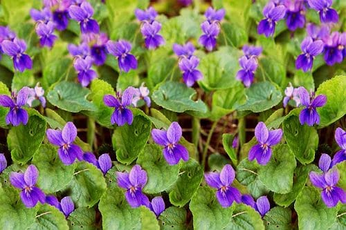 Types of Violet Flowers 9
