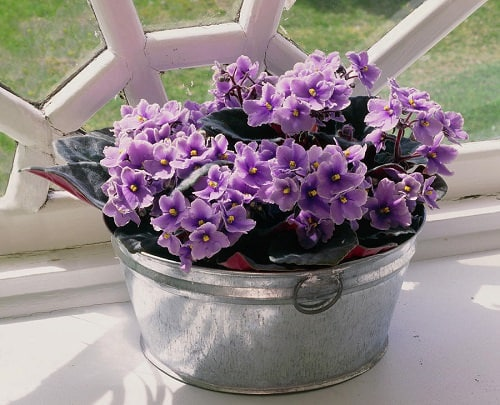Types of Violet Flowers