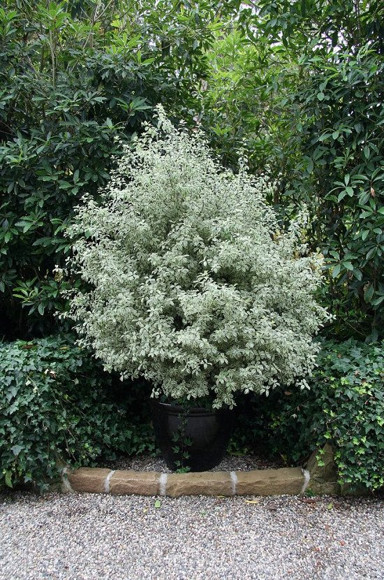Best Pittosporum Varieties