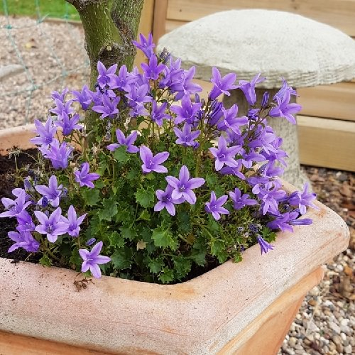 Types of Violet Flowers 3