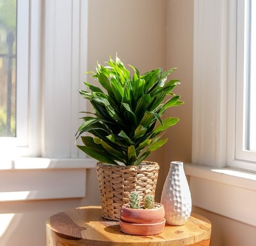 Best Dracaena Varieties for Indoors 3