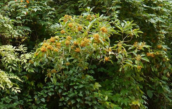 Best Pittosporum Varieties 3