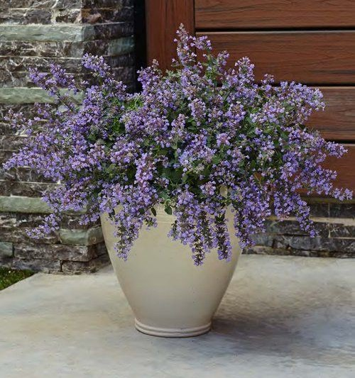 Types of Violet Flowers 4
