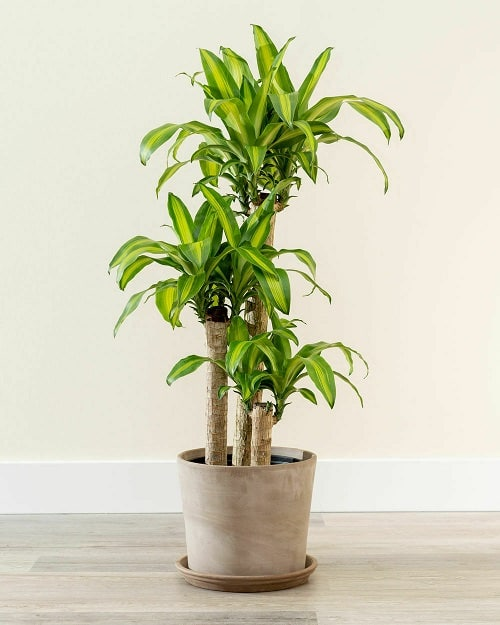 Best Dracaena Varieties for Indoors 5