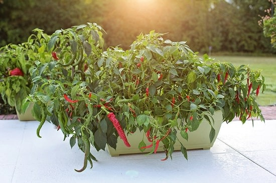 How to Make Pepper Plants Hotter