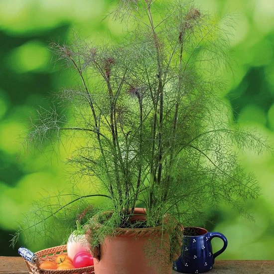 Growing Fennel in Container