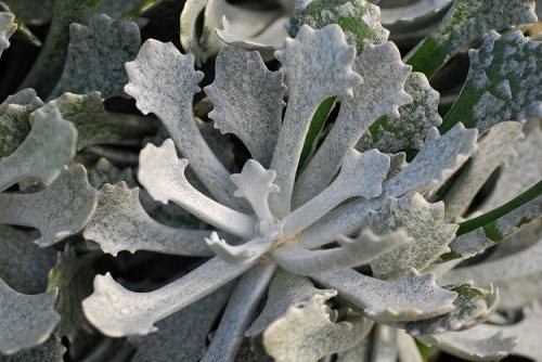 Best Senecio Varieties 8
