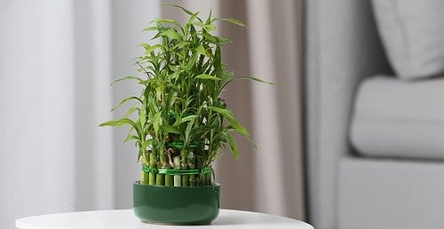 Benefits of Lucky Bamboo Plant