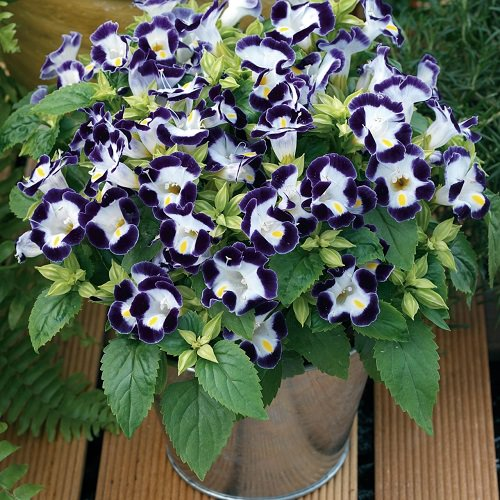 Ornamental Plants for Shade 13