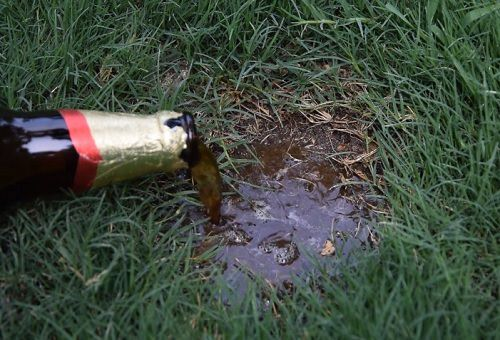 Uses For Beer In the Garden 2