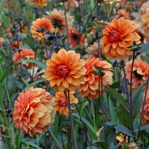 Types of Orange Flowers 16