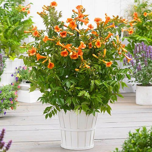Types of Orange Flowers 18