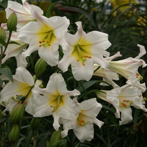 Best Types of Lilies 13