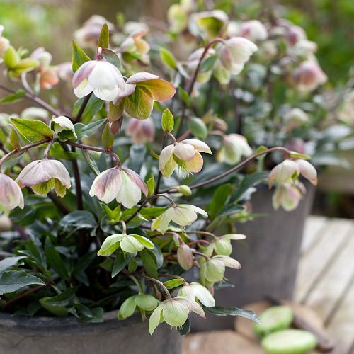 Ornamental Plants for Shade 2