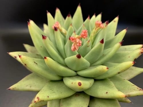 Best Echeveria Types 2