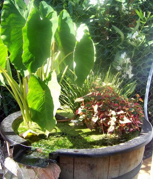 Herbs and Vegetable You Can Grow in Container Water Garden 2