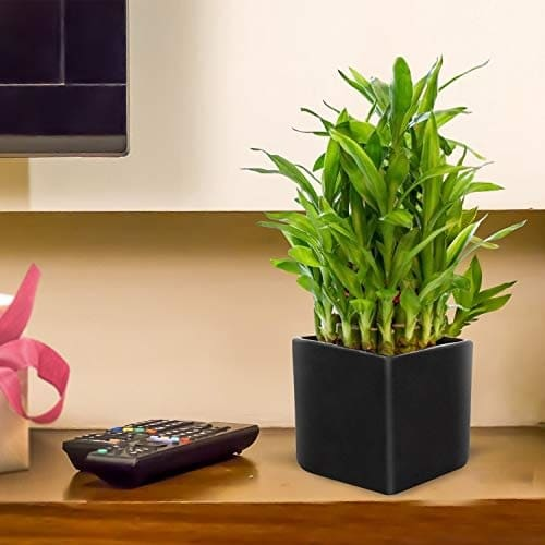 Benefits of Lucky Bamboo Plant 2