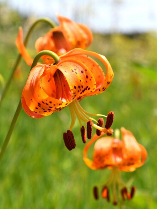 Best Types of Lilies 16