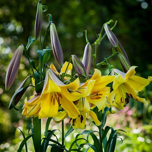 Best Types of Lilies 19