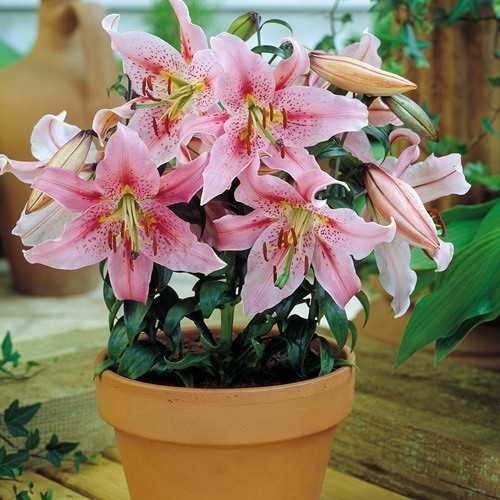 Best Types of Lilies 25
