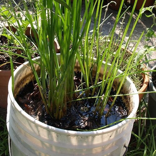 Herbs and Vegetable You Can Grow in Container Water Garden 6