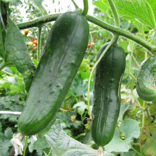 Types of Cucumber 2