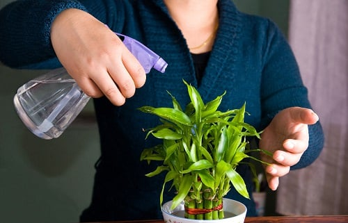 Benefits of Lucky Bamboo Plant 3