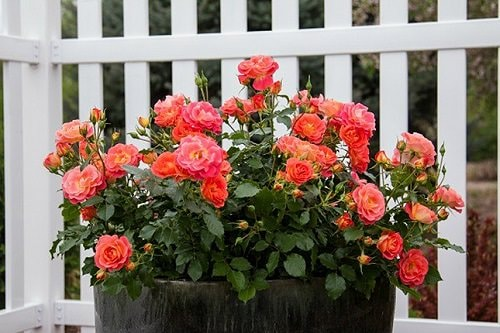 Tips to Make Roses Bloom