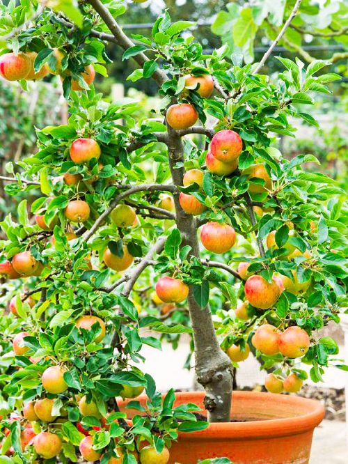 Fruits You Can Grow in Balcony