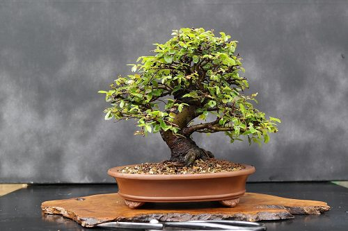 Best Indoor Bonsai Trees for Beginners 1