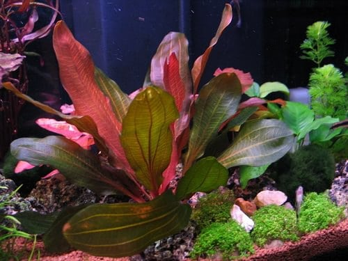 Red Aquarium Plants 5