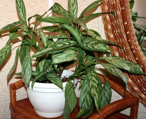 Best Aglaonema Varieties 7