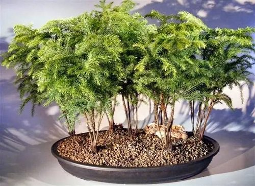 Best Indoor Bonsai Trees for Beginners 6